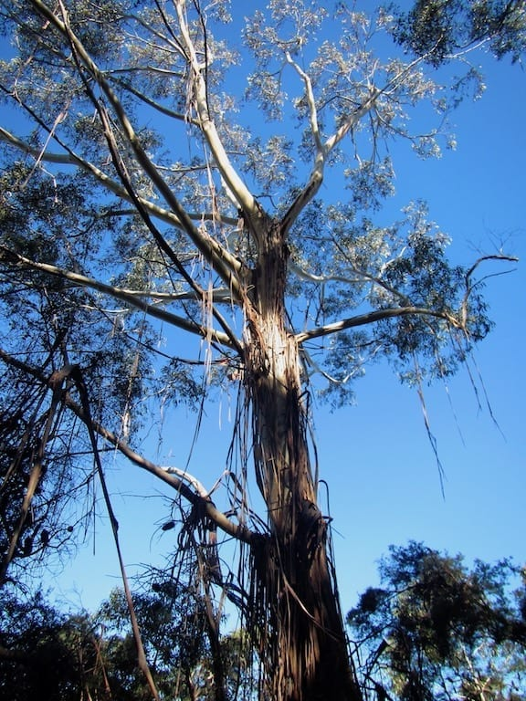 Looking up a gum tree against clear blue sky, with the tree bark peeling in strips