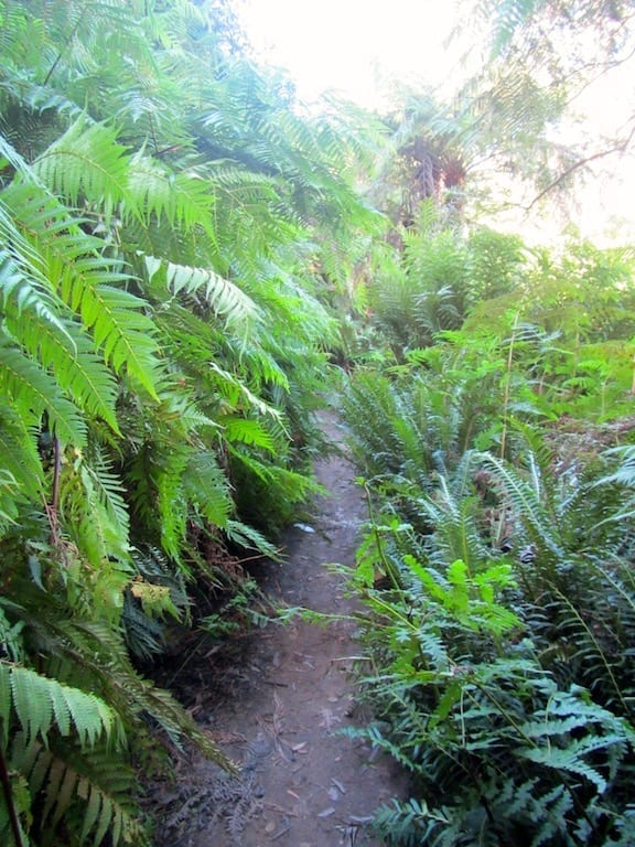 Ferns along the trail