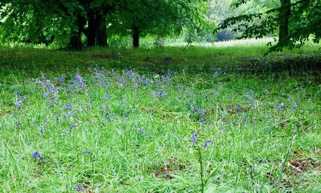 Glade of bluebells | Chatsworth House | Derbyshire | England