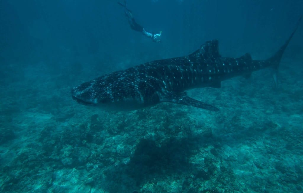 whale shark Maldives | Dhigurah | Maldives Whale Shark Research Programme | MWSRP volunteer programme | Teja on the Horizon | Heaven is not what I did yesterday