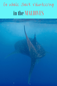 whale shark volunteering | swimming with whale sharks | Dhigurah Maldives | Maldives Whale Shark Research Programme | MWSRP