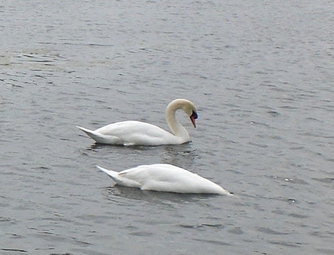 Pair of swans | Bakewell | Peak District National Park | Derbyshire
