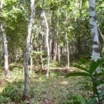 New Growth in the Green Woods of Sirsi, India