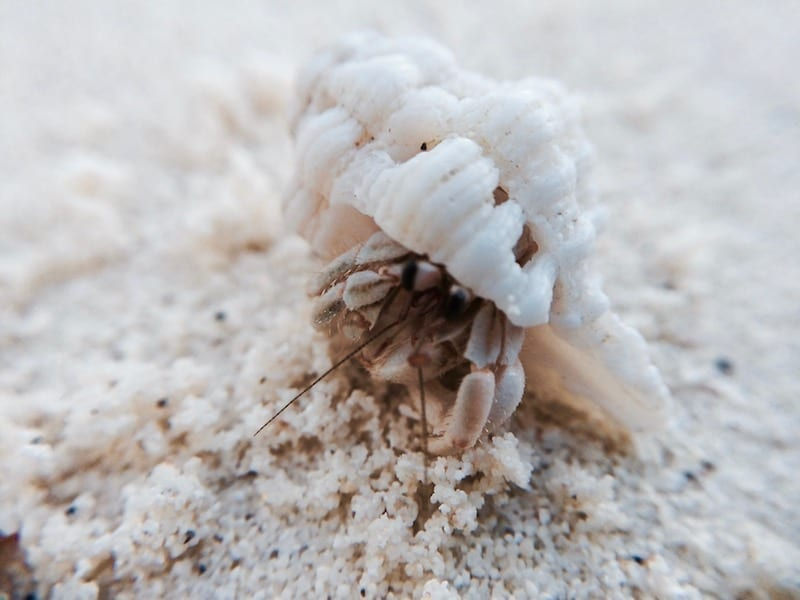 Close up photo of a hermit crab | Dhigurah | Maldives | Three Essential Next Steps to be an Effective Sustainable Traveller | Teja on the Horizon