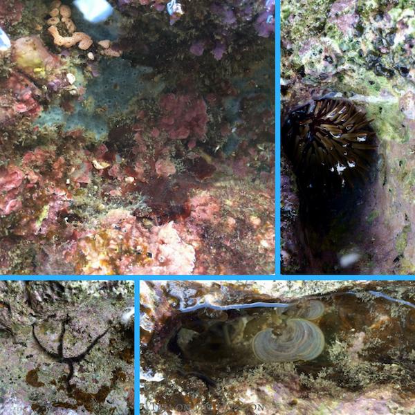 rocky shore Marabut islet | sea urchin | funnelweed | blue sponge | calcareous red algae | brittlestar | Leyte islets | Marabut islands | shore marine life | island hopping | boat cruise | Tacloban Philippines | Samar Visayas | the Philippines