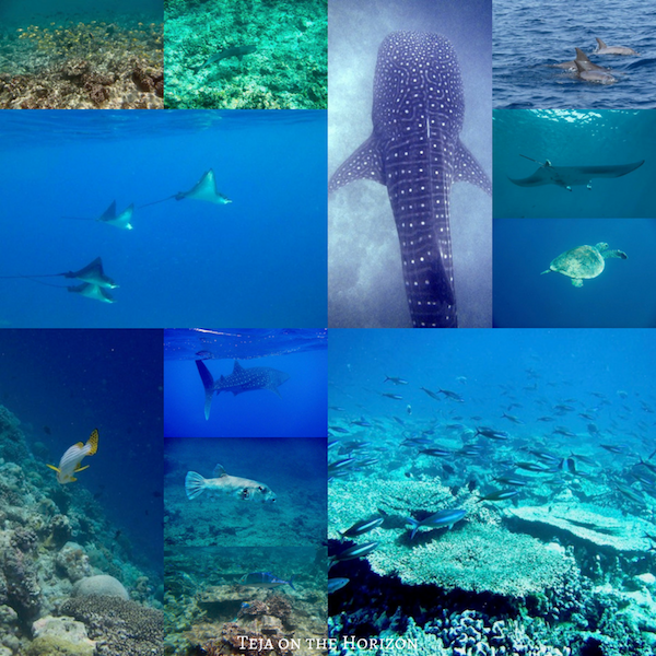 Maldives whale shark | eagle rays | turtles | schools of fish | coral reef | reef sharks | manta ray | pod of dolphins | Maldives tourism | Maldives ecotourism | Teja on the Horizon