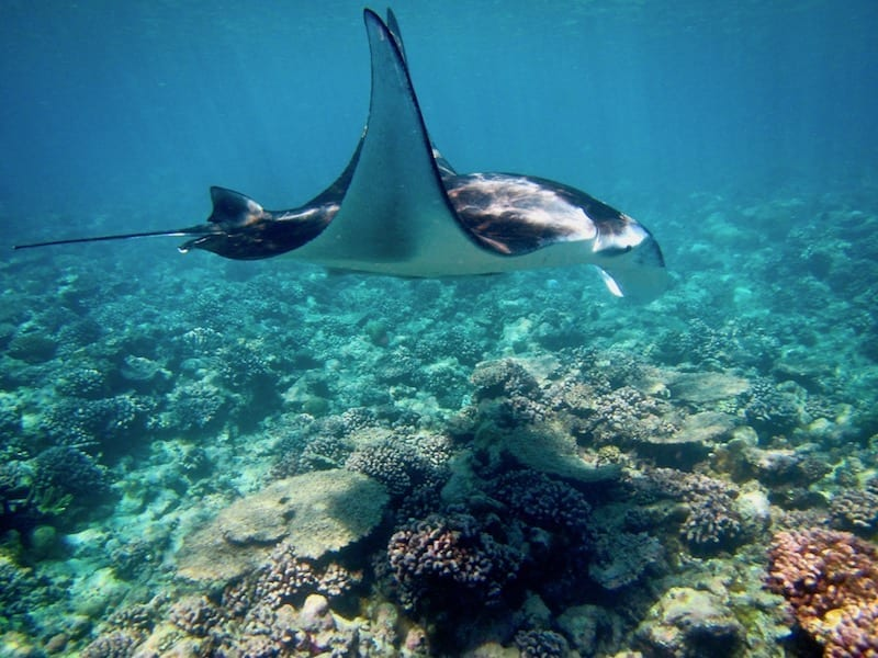 The Year I Got A Manta Ray For My Birthday | Teja on the Horizon | manta rays in South Ari | snorkelling in the Maldives | Dhigurah MWSRP volunteering | devilfish swimming over coral