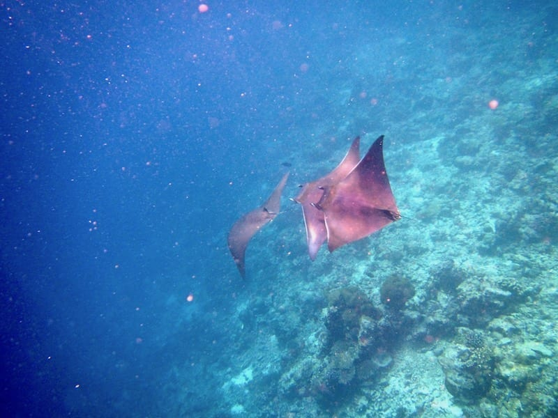 The Year I Got A Manta Ray For My Birthday | Teja on the Horizon | mobius rays in South Ari | snorkelling in the Maldives | Dhigurah MWSRP volunteering | trio of mobius rays