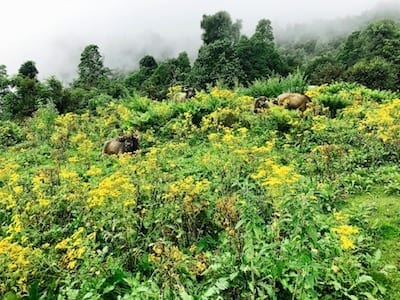 Herd of buffalo relaxing in wildflowers | Annapurna in the Monsoon Day 4: Glimpses of Machapuchare | Tadapani to Chomrong | Animals in Annapurna | Farming in Annapurna | Nepal trekking | Annapurna Sanctuary trek | Asian female trekking | Teja on the Horizon