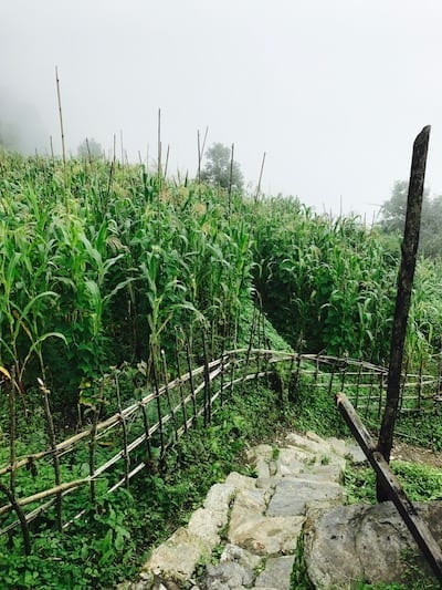 Growing maize | Annapurna in the Monsoon Day 4: Glimpses of Machapuchare peak | Fishtail mountain | Tadapani to Chomrong | Farming in Annapurna | Nepal trekking | Annapurna Sanctuary trek | Asian female trekking | Teja on the Horizon