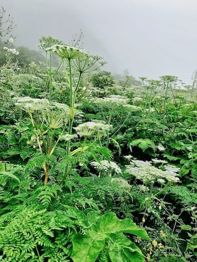 Tall white floral shrubs in the alpine plain | Annapurna in the Monsoon Day 7: To the Base Camp on a Trail of Flowers | Annapurna Base Camp trek | Annapurna Sanctuary trek | monsoon flowers in Nepal highlands | alpine summer flowers | Asian female trekking | Teja on the Horizon