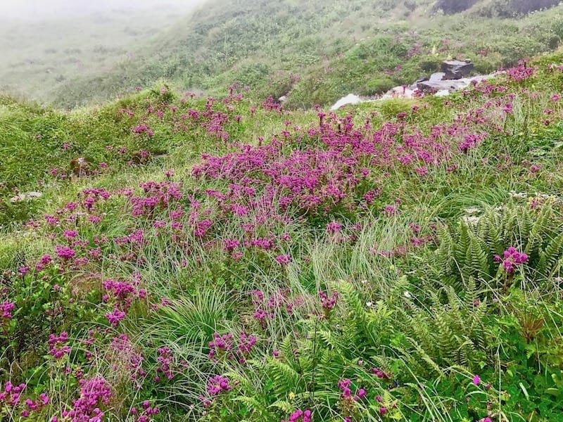 Purple wildflowers in Annapurna plateau | Annapurna in the Monsoon Day 7: To the Base Camp on a Trail of Flowers | Annapurna Base Camp trek | Annapurna Sanctuary trek | monsoon flowers in Nepal highlands | alpine summer flowers | Asian female trekking | Teja on the Horizon