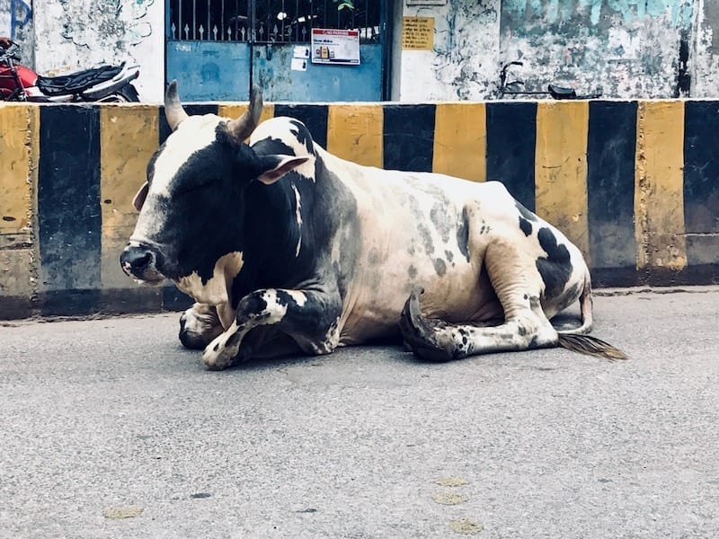 A cow reposing on the asphalt in the middle of a busy main street in Varanasi | Indian traffic | free range cattle common in India | holy cow in Shiva city