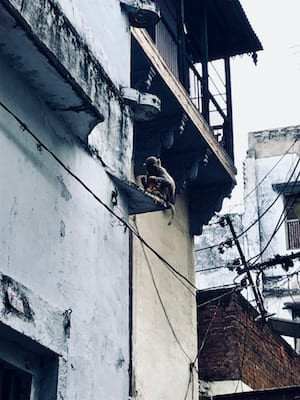 Monkey eating food offering on a building ledge in the old town of Varanasi | Sights on a Varanasi day tour | Animals in Benaras