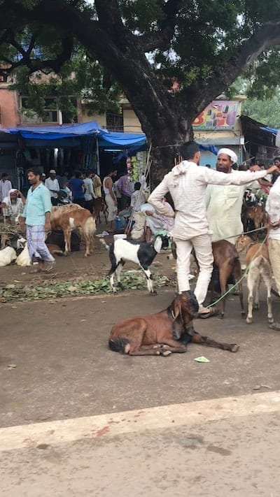 Indian men loitering in conversation at the Eid goat market in Delhi, alongside groups of goats for sale