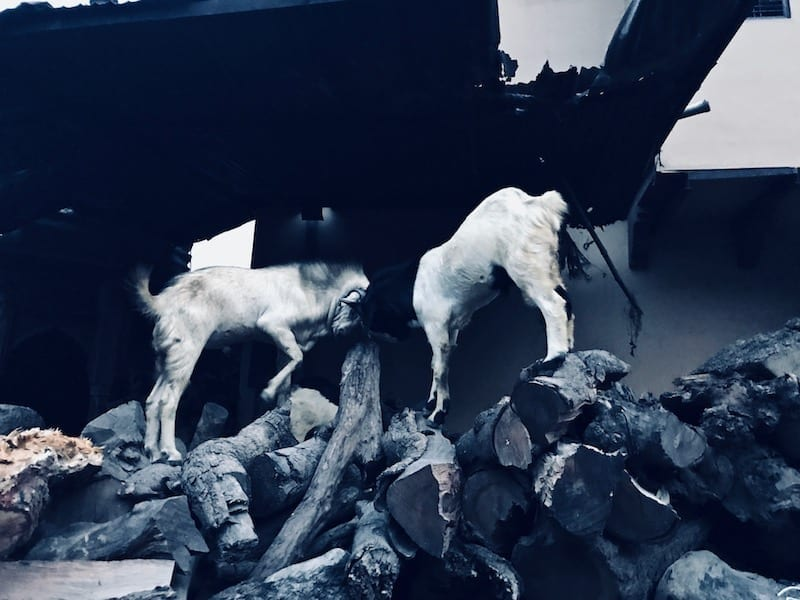 Goats butting heads on cremation firewood stores near Manikarnika Ghat, Varanasi, India | Controversial thoughts