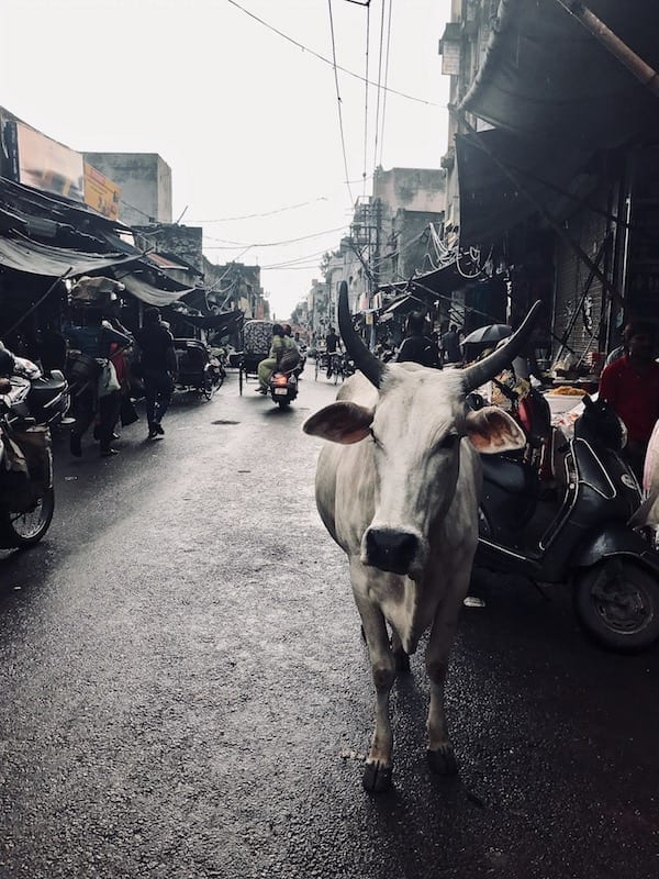 White cow approaching along a street in India